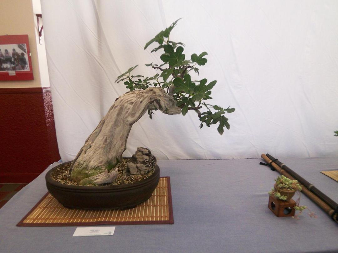 Fig bonsai is a plant not very difficult to care for