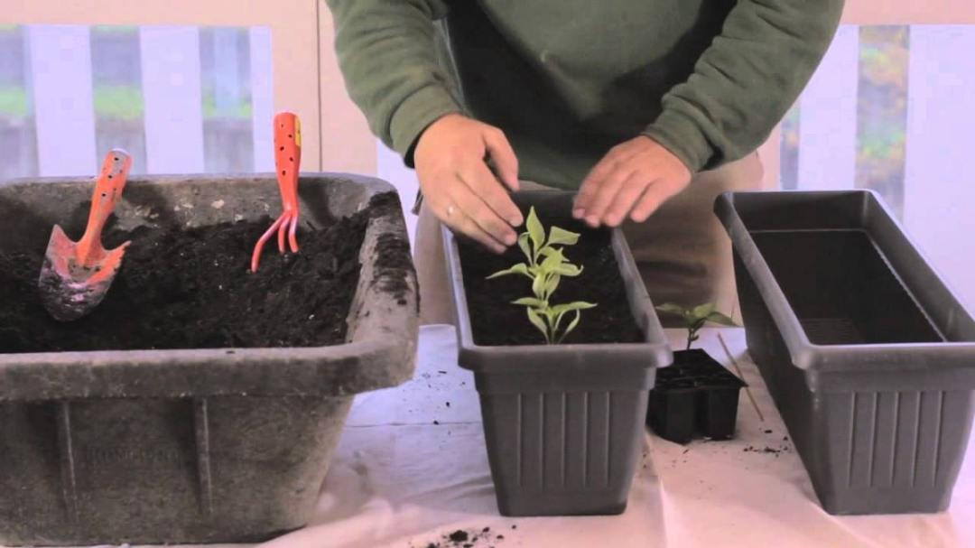 Potted rocket crop