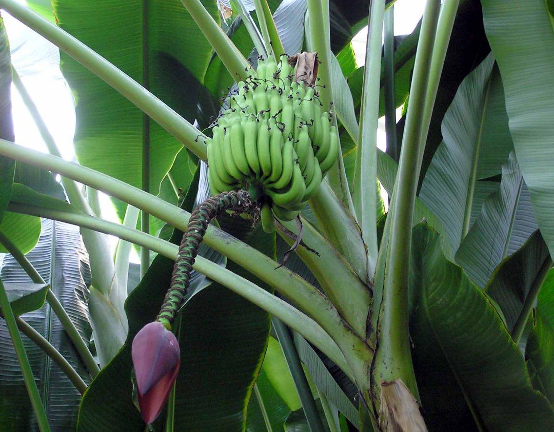 Musa balbisiana bananas