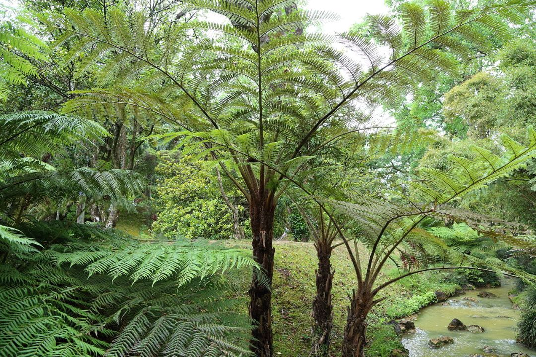 Cyathea brownii has a stipe