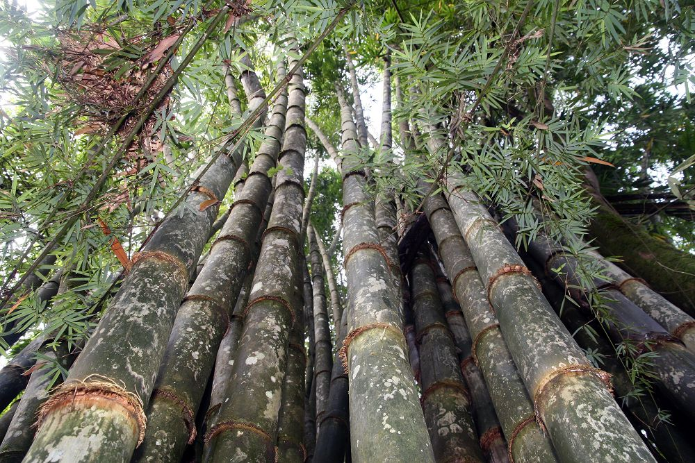 Dendrocalamus giganteus, the largest bamboo in the world