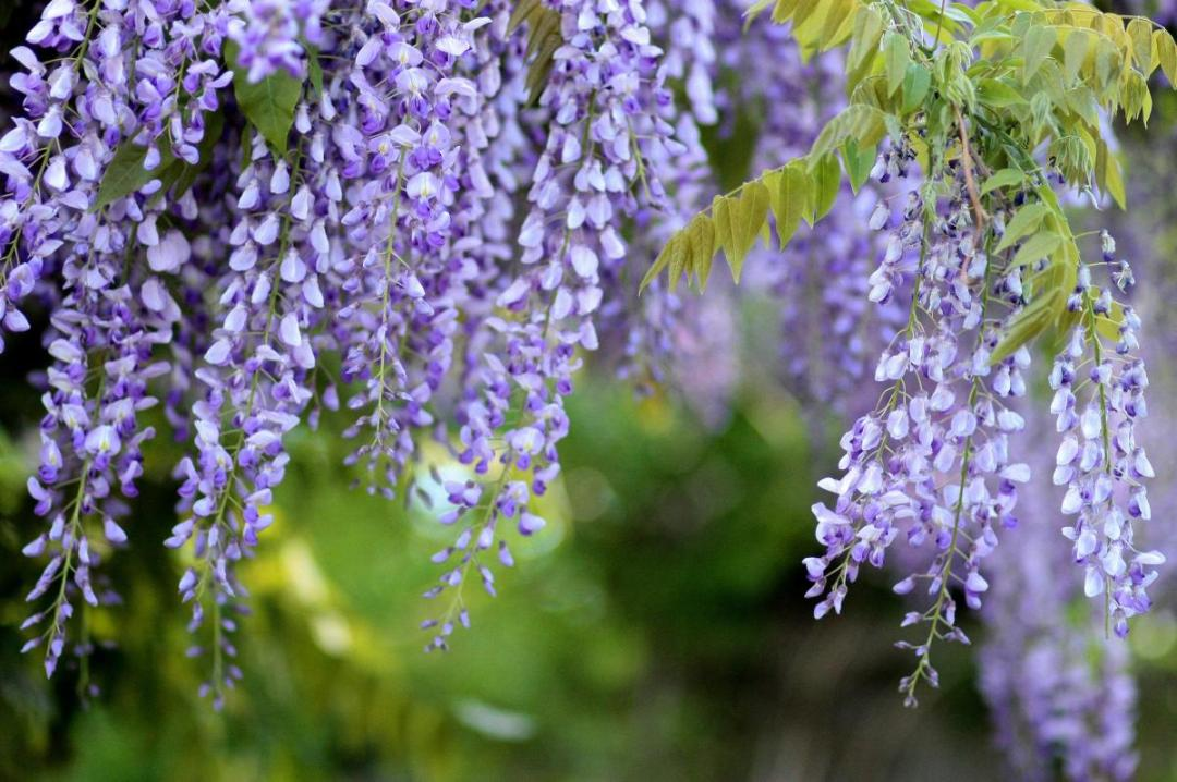 Wisteria is a very rustic climber