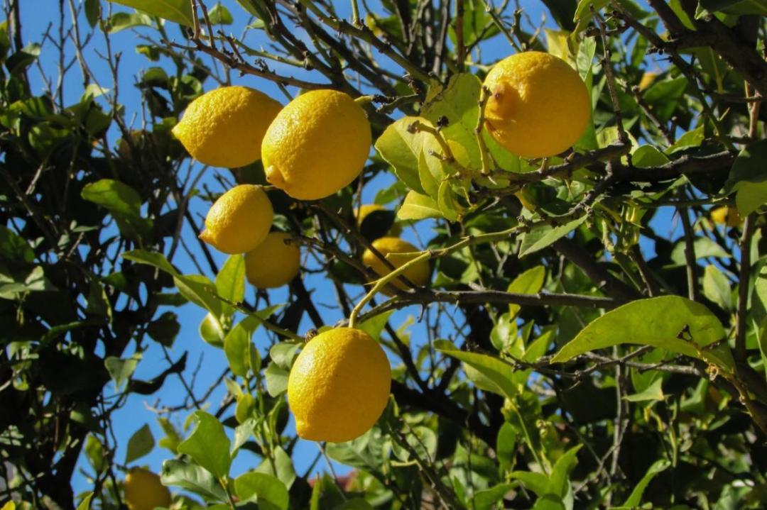 The lemon tree grows well in limestone soils