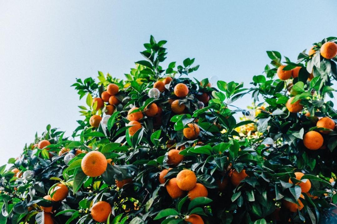 The orange tree is a tree that is grown in limestone soils