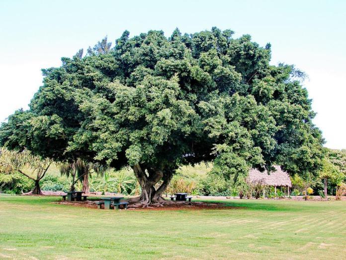 Los Ficus son árboles que necesitan espacio