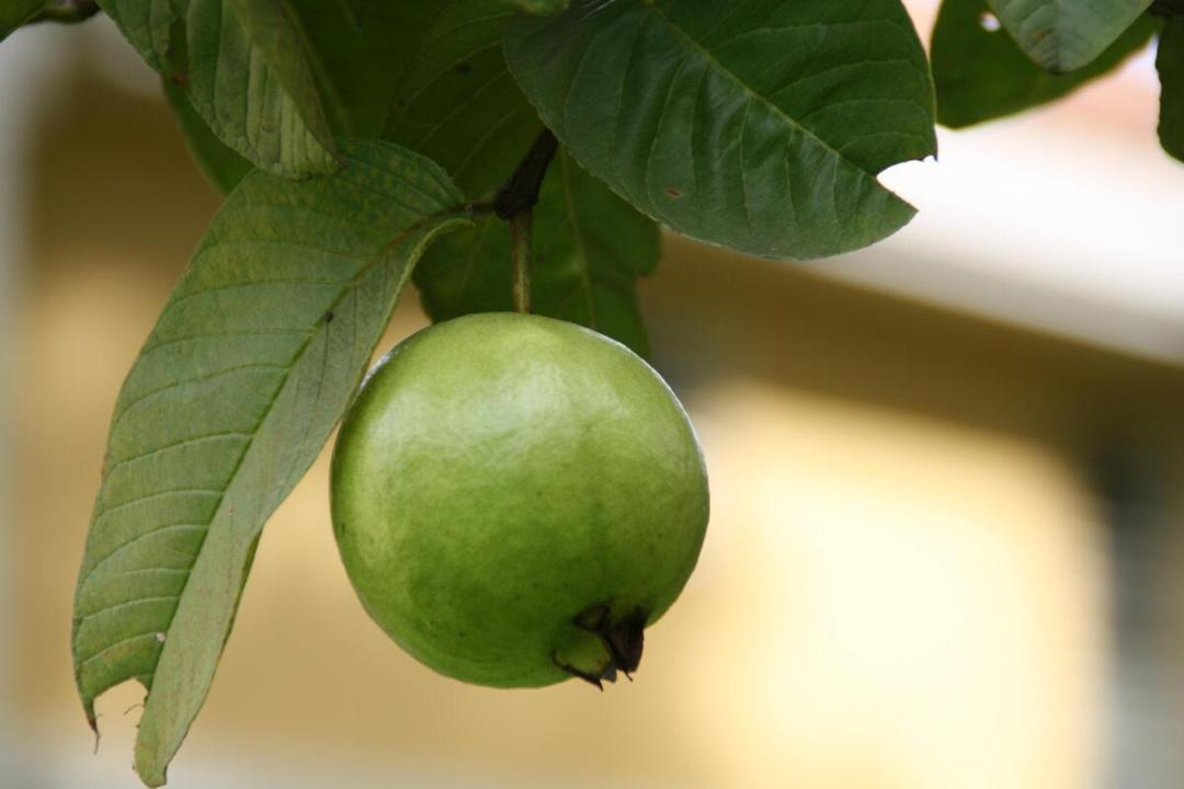 Guava is a berry-like fruit