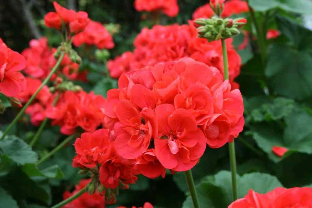 Geraniums need fertilizers in spring