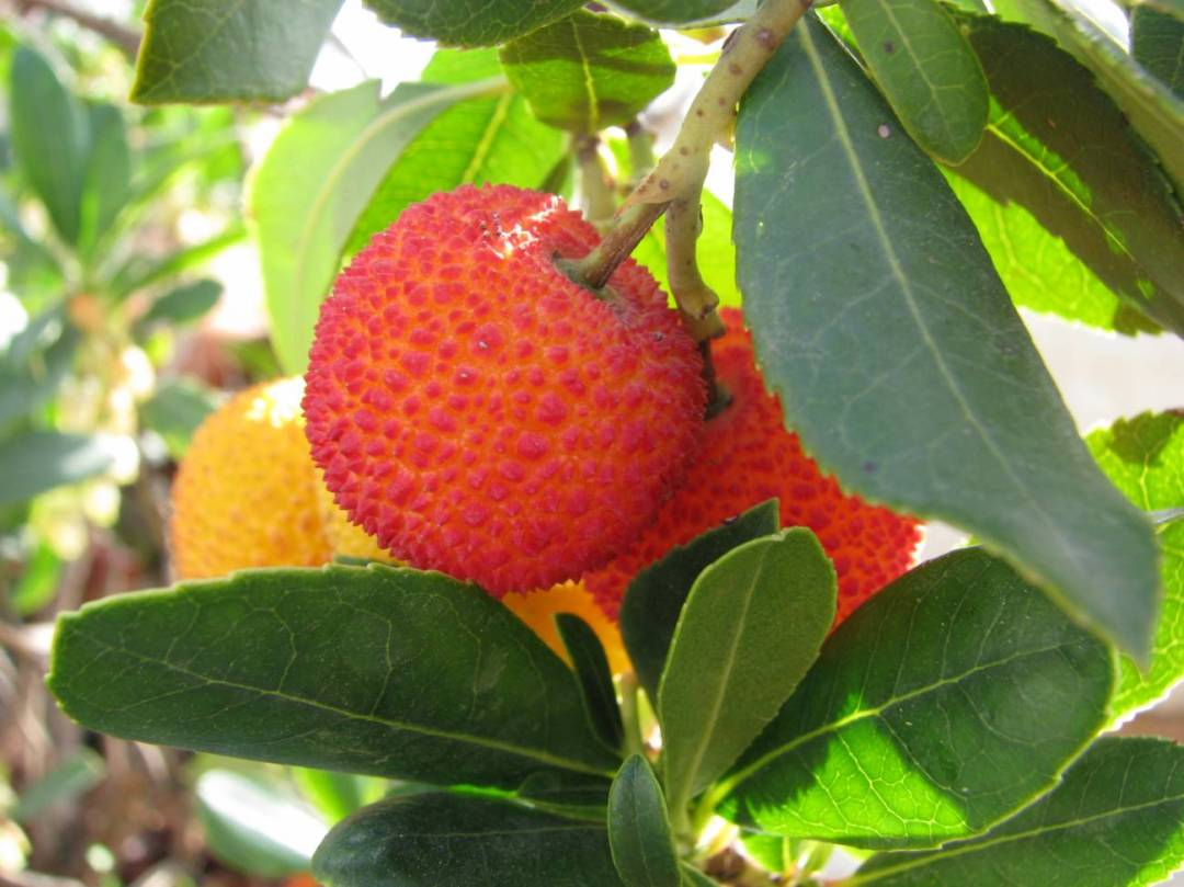 pruning the young strawberry tree