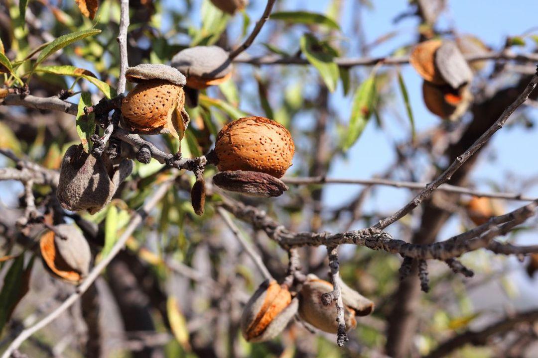 Dried almond tree