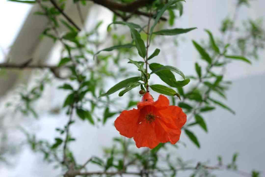 Potted pomegranate is easily cared for outdoors