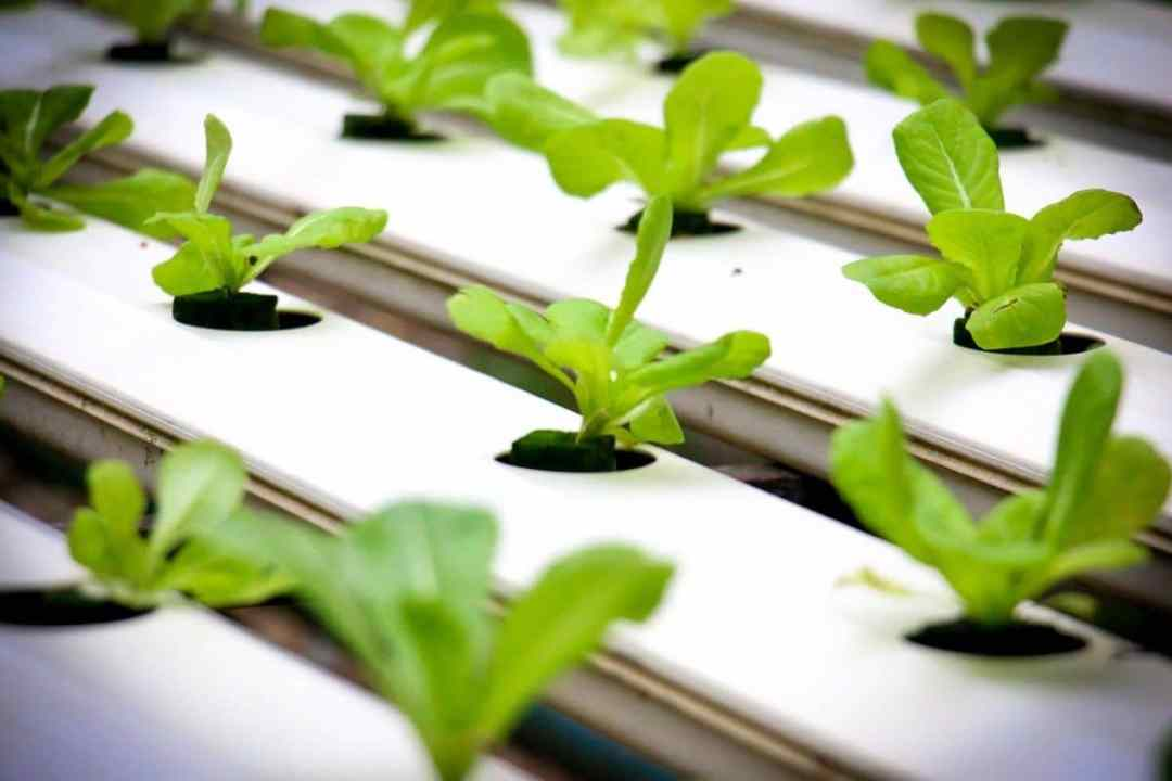 It is possible to grow lettuces in hydroponics