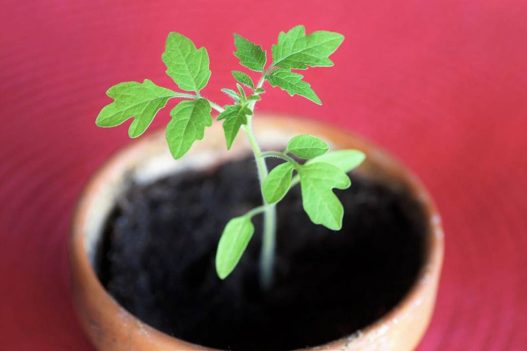 To plant potted tomatoes, the type of pot is important
