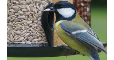 Graines pour oiseaux : Tournesols décortiqués
