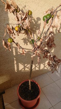 Taille D Un Mandarinier Bien Mal En Point Forum Jardinage