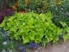 ipomoea-batatas-margarita-aurea_6