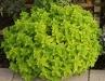 Origanum vulgare 'Thumbles Variety'