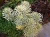 Euphorbia characias \'Emmer Green\'