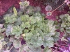 Heuchera \'White Cloud\'
