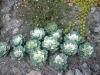 Brassica oleracea var. acephala 'Victoria Pigeon'