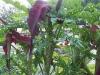 Dracunculus vulgaris