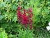 Lobelia x speciosa 'Fan Burgundy'