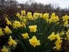 Narcissus 'Magician'