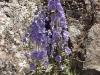 Delphinium 'Guinevere'