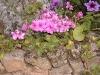 Pelargonium 'Leopard'