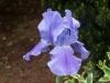 Iris germanica 'Blue Shimmer'