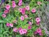 Calibrachoa 'Callie Coral Pink'