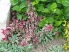 Fuchsia magellanica var. gracilis 'Tricolor'