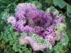 Brassica oleracea var. acephala 'Nagoya Red'