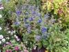 Salvia patens 'Patio Bleu Gentiane'