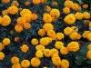 Tagetes 'Orange Lady'