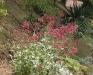 Centranthus ruber