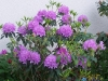 Rhododendron 'Alpenroos'
