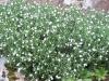 Lithodora diffusa 'Alba'