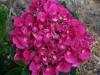 Hydrangea macrophylla 'Sanguinea'
