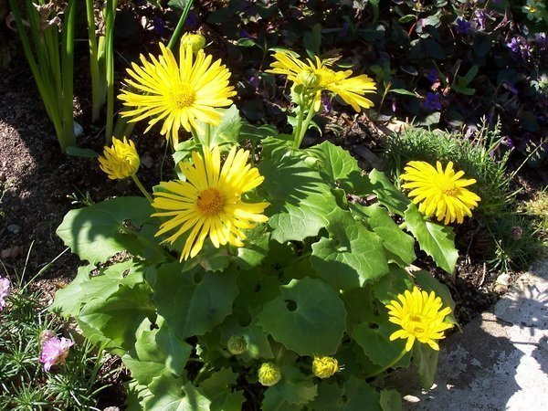 Doronicum orientale 'Little Leo'_4