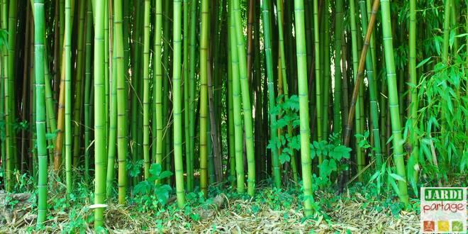 planter un bambou les precautions a