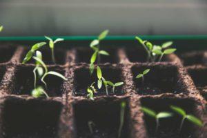 Bulbes et semences