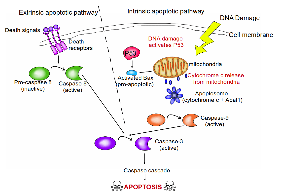 The Hallmarks Of Cancer 3 Evading Apoptosis Jargon Wall