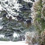 Ice coats the leave of Arborvitae