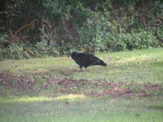 turkey_vulture-09-16-2009-1
