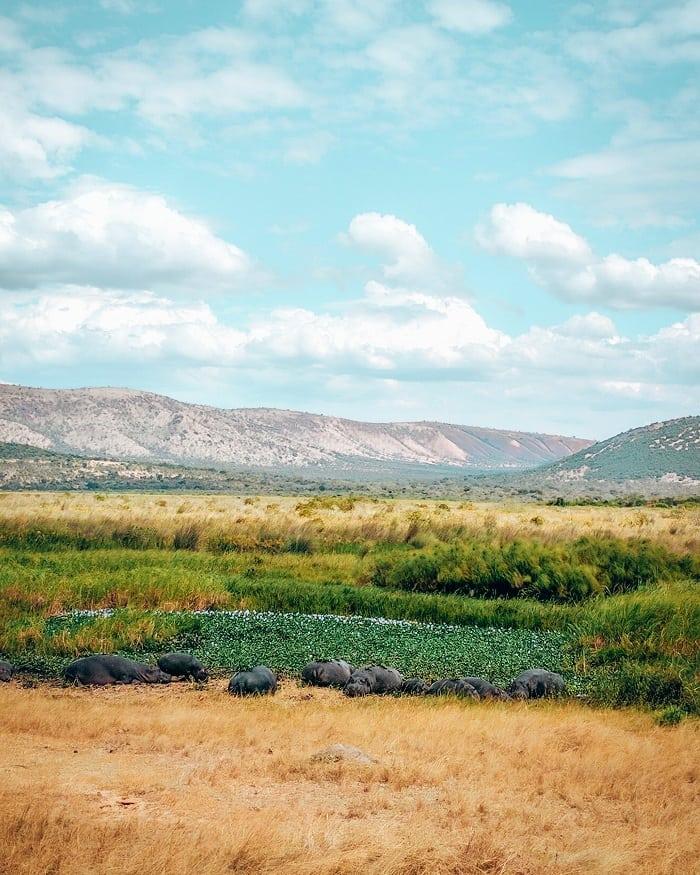 Hippos at Akagera National Park