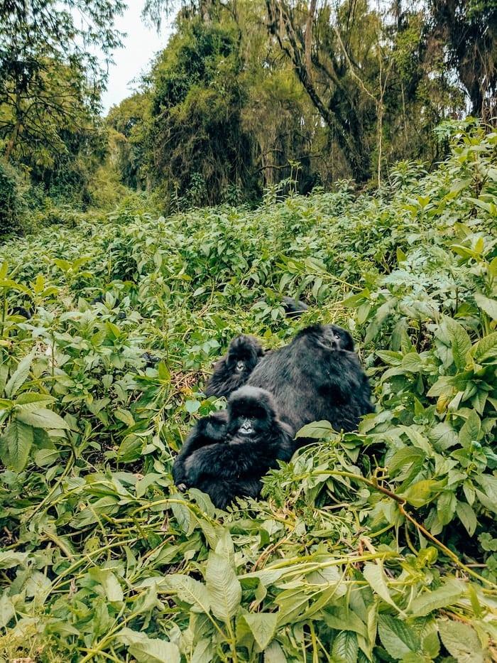 Gorillas during gorilla trek in Volcanoes National Park Rwanda