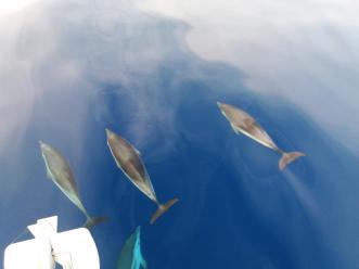 Delfini v Sredozemlju
