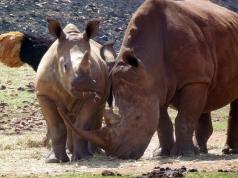A pair of rhinoceroses.
