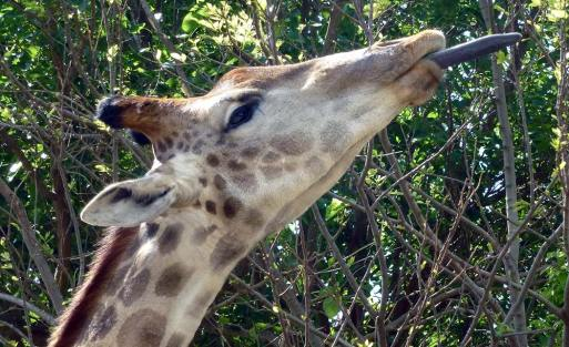 This was the best of my efforts to get a picture of a giraffe tongue.