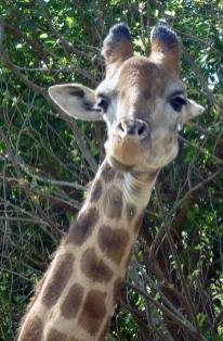 Giraffes are the finest animals alive.
